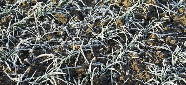 Winter wheat could suffer from cold-snap.
