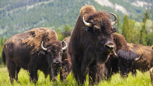 A herd of bison in the American West.