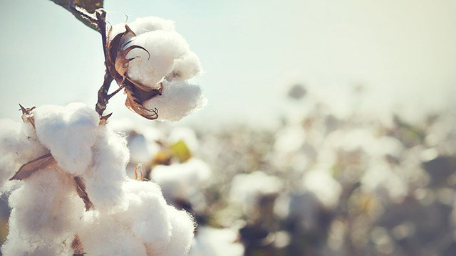 Cotton growing in the field.