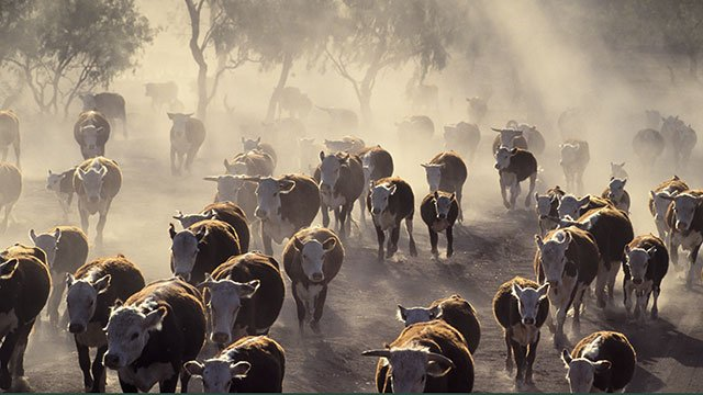 A cattle herd in drought conditions