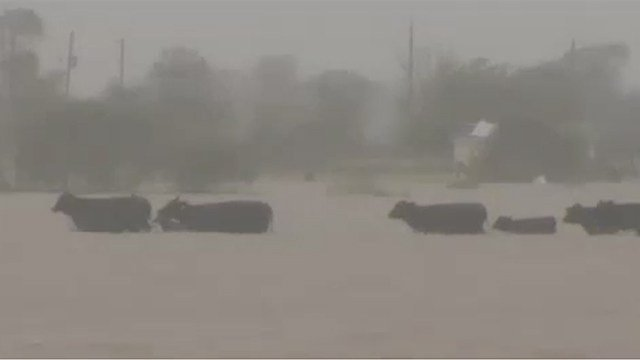 Cattle crossing floodwaters from Hurricane Harvey