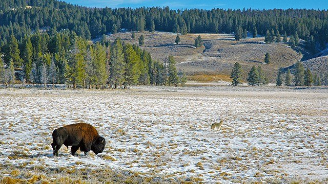 A buffalo and a wolf roam the same open land in the west.