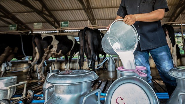 Pouring milk into large cans on a dairy farm.