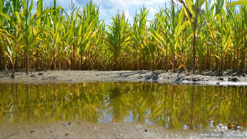 A wet cornfield with a poor crop.
