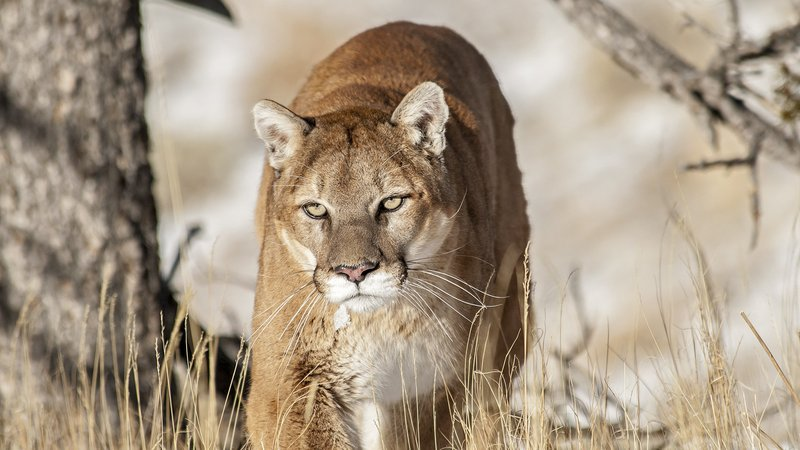 A mountain lion in the wild.