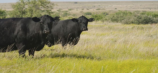 Blank Angus cattle in a field.