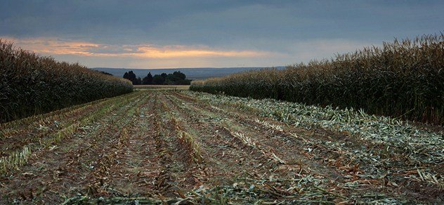 Corn harvest under a cloudy sky