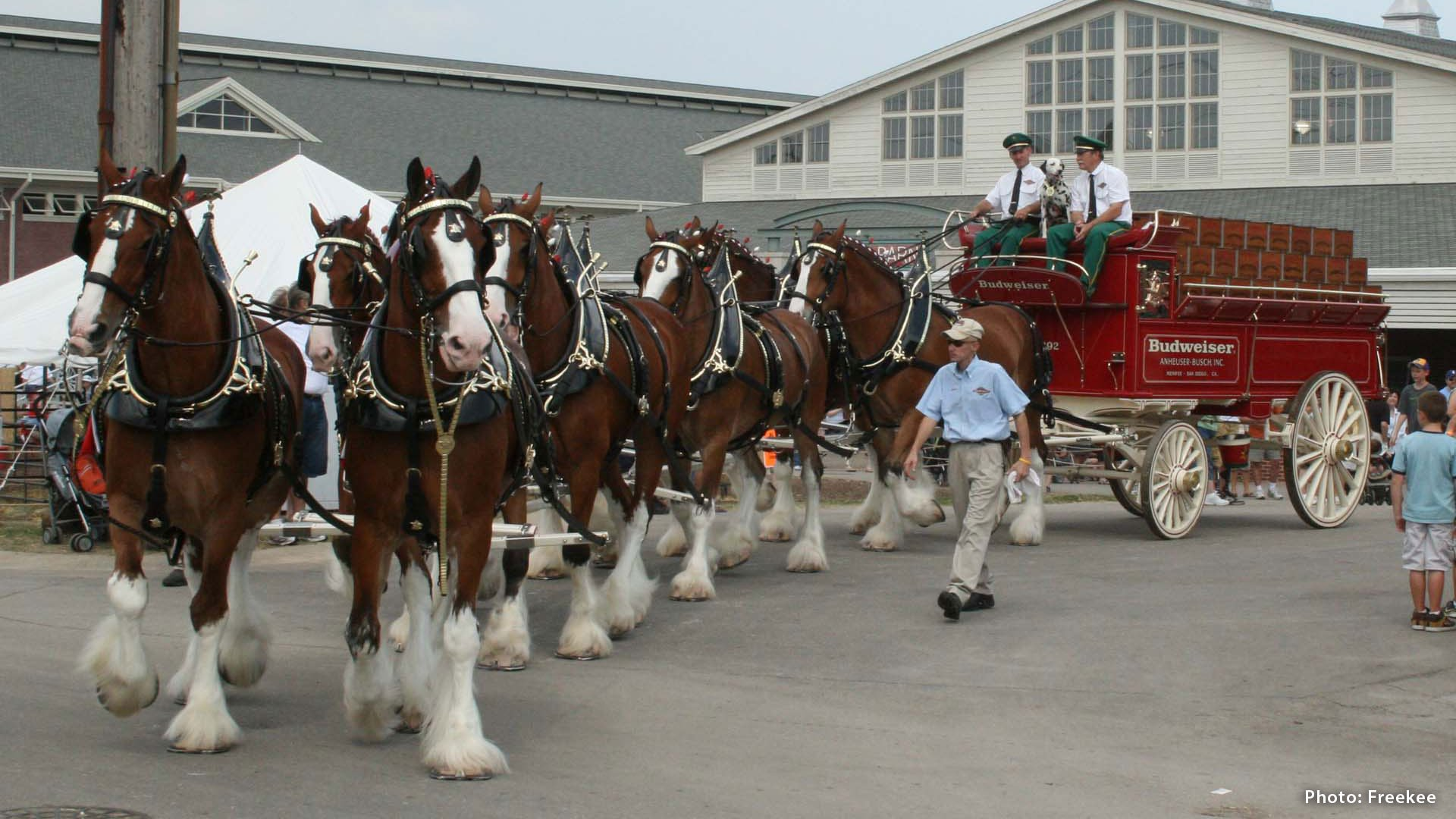 The Budweiser Clydesdales Essential Awe Inspiring Facts