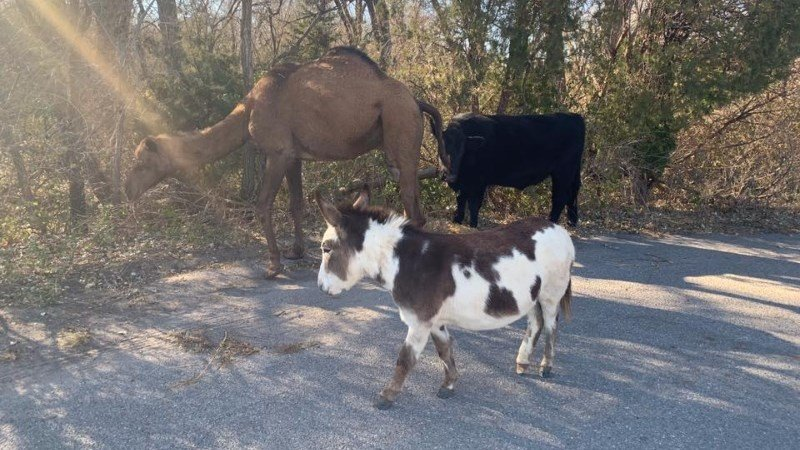 Incredible Camel Cow Donkey Found Roaming Together Along Kansas Road Ibusinesslaw Wood Chair Design Ideas Ibusinesslaworg