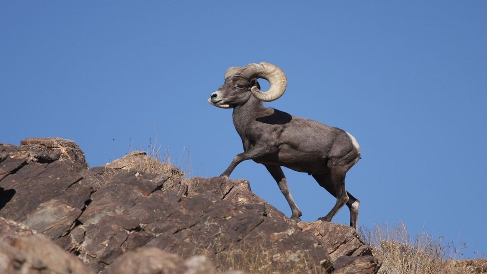 Pneumonia Is Biggest Threat To Nevada S Desert Bighorn Sheep